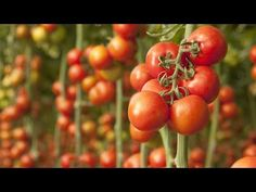 by Joseph and Tara Dodrill Tomatoes are one of the most popular garden plants, and for good reason. They taste delicious, are healthy, and are a common ingredient in recipes. The rich flavor of ripe tomatoes is simply hard to beat. Growing tomato plants is not hard, but you have to start them at the right time to