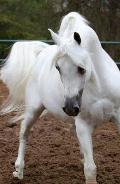 White Arabian, exquisite!