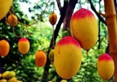 mango tree with fruit | Mango Mania (mango tree picture)