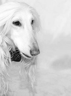 Afghan Hound Kennel Vechnost by Afilana, via Flickr