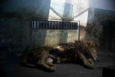 The Heartbreaking Living Conditions Of Chinese Zoos   So sad!