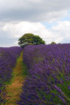 Mayfield Lavender by Daniel I King