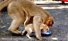 Muncul Seekor Monyet Yang Punya Anak Anjing. Kehebohan Pun Terjadi
