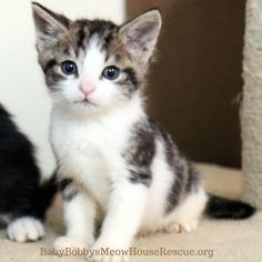 #chevy #tabbykitten available for #adoption by #cat rescue