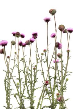 the annual musk thistle photo Blossom Flower, Flower Art, Thistle Plant, Plant Fungus, Flower Sketches, Instagram Design, Botanical Drawings, Landscape Paintings, Flower Power