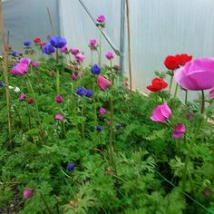 The anemones growing at JW Blooms #britishflowers #anemones
