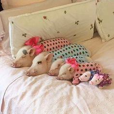 prissy_pig Got all my pigs in a row! Sweet dreams everyone!🐷🐷🐷🐷💤#tbt #cheeriocastle #goodnight #PoseyandPink #PrissyandPop  2017/03/31 09:10:32