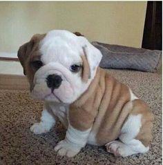 The Top 5 Trainable Dog Breeds bark bark Cute little puppies bulldog puppies - Dogs Cute Little Puppies, Cute Dogs And Puppies, Cute Babies, Doggies, Puppies Puppies, Adorable Puppies, Havanese Puppies, Rottweiler Puppies, Husky Puppy