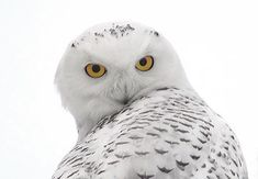 Amazing Animals Pictures: Fun and laughter with the Snowy Owl (Bubo scandiacus) Pics) Beautiful Owl, Animals Beautiful, Owl Lantern, Snowy Owl, All Gods Creatures, Bird Feathers, Beautiful Creatures, Pet Birds, Mammals