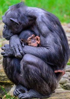 Chimpanzees at Taronga Zoo Cute Funny Animals, Funny Animal Pictures, Cute Baby Animals, Nature Animals, Animals And Pets, Animals Beautiful, Beautiful Creatures, All About Animals, Pet Birds