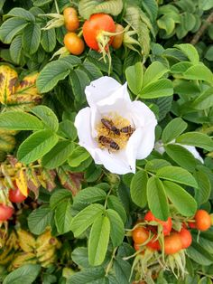 RT @E_D_Hort: Rosa rugosa 'Alba' #bees loving the fruit and flowers in the Rose Garden @kewgardens