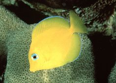 """The Blue Tang (""""Dory"""" fish) is actually yellow when it's a baby--snorkeling off of Prickly Pear Cays in chapter 58"""