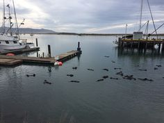Otters in Morro Bay. (KSBY photo)