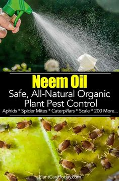 Neem oil for plants is an effective natural organic insect repellent general purpose insecticide miticide and fungicide Insects HATE Neem Oil sprays LEARN Insecticide For Plants, Pesticides For Plants, Natural Insecticide, Plant Pests, Natural Pesticides, Garden Pests, Garden Insects, Herbs Garden, Organic Gardening Tips