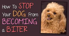 Providing appropriate and ongoing socialization, obedience training, adequate exercise, and proactive health care can prevent your dog from becoming a biter. http://healthypets.mercola.com/sites/healthypets/archive/2015/05/20/how-to-stop-dogs-from-biting.aspx
