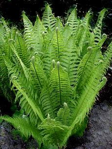 Matteuccia struthiopteris - Federball / Straußenfarn Source by pickardes Container Gardening Vegetables, Succulents In Containers, Container Flowers, Container Plants, Vegetable Gardening, Shade Garden, Garden Plants, Potted Plants, Ostrich Fern