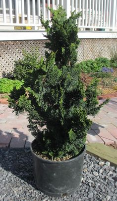 Kalina pra sk viburnum pragense prague viburnum a for Small slow growing evergreen trees
