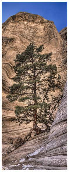 """Strong Men - like strong trees ... put down roots, reach for the sky, conserve their water, stand on the rock, hang on no matter the erosion of time, and walk the talk!   Pine Tree in Slot Canyon - Tent Rocks National Monument.           St. Mark 8:24  """"And he looked up, and said, I see men as trees, walking."""""""