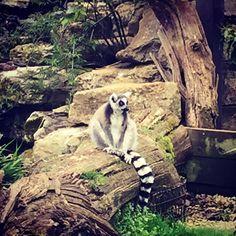 Lemur or burglar? Who knows...  #lemurs #lemur #animalstagram #animallovers