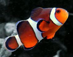 Clownfish (In the BioCube)