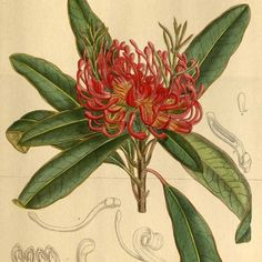 """Protea Telopea Oreades - Fine Art reproduction of an exquisite antique print by entomologist and botanist, William Curtis ,first published in """"The Botanical Magazine or Flower-Garden Displayed"""" in Vintage Botanical Prints, Botanical Drawings, Botanical Art, Protea Art, Plant Illustration, Fauna, Flower Pictures, Illustrations, Vintage Flowers"""