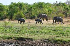 A family of elephants in the Udawalawe national park in Sri Lanka 🐘🇱🇰 Travel Memories, Sri Lanka, Elephants, National Parks, Horses, Animals, Instagram, Animales, Animaux