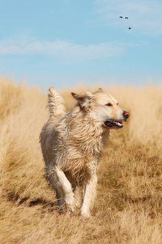 Running Golden Labrador Retriever by Brenda Carson on 500px