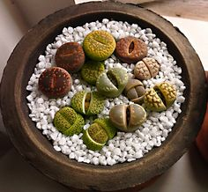 Lithops seedlings by pere98, via Flickr