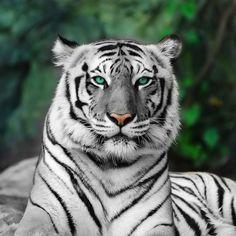 Amazing white tiger