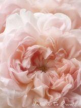 Ein Petticoat aus Rosenblättern. Charles Austin-Rose Eglantyne. Auf Leinwand, als Kunstdruck oder auf Fototapete im Wunschformat.