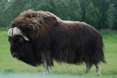 The muskox (Ovibos moschatus), also spelled musk ox and musk-ox is an Arctic mammal of the family Bovidae, noted for its thick coat and for the strong odor emitted during the seasonal rut by males, from which its name derives. This musky odor is used to attract females during mating season. Muskoxen primarily live in the Canadian Arctic and Greenland, with small introduced populations in Sweden, Siberia, Norway, and Alaska.
