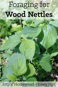 Wood nettles are a delicious and tender spring green, similar to stinging nettle (but even yummier!). Learn how to forage for these greens, and how to prepare them. | Homestead Honey