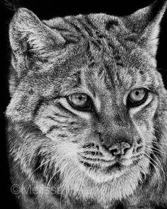 Lynx | 8x10 scratchboard | Melissa Helene Fine Arts + Photography www.melissahelene.com #wildlife #lynx #scratchboard #animalart #blackandwhite #melissahelenefinearts