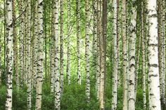 Clear Birch Forest - Wall Mural & Photo Wallpaper - Photowall Scott likes … Custom Wallpaper, Photo Wallpaper, Wall Wallpaper, Birch Tree Wallpaper, Forest Wallpaper, Nature Wallpaper, Birch Forest, Misty Forest, Birch Trees