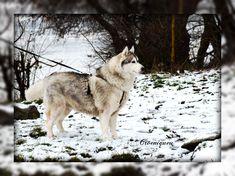 Tiquana, Siberian husky