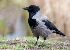 Kråke - Hooded crow (Corvus cornix).jpg (800×580)