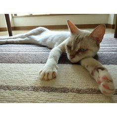 やる気ナシ子 第2弾  てか 体が異様に細長く見えるのは気のせいか  #猫#ねこ部#猫部#猫と暮らす#ネコず#にゃんず#ねこすたぐらむ#にゃんすたぐらむ#にゃんだふるらいふ#ニャンダフルライフ#cat#instacats#instagramcats#catstagramim1123ab2016/03/02 12:00:13