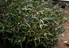 Sarcococca hookeriana.  Likes shade, water, evergreen shrub, slow growing, smells really good