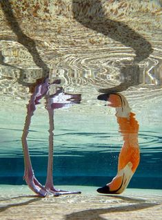 Under water view of a flamingo.