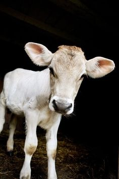 Calf Portrait ~ Photo by...Jane Heller©