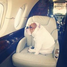 """What do you think he's thinking about? My guess: """" The humans forgot my snacks, now I'm angry- Don't look at me"""" #poochesonplanes"""