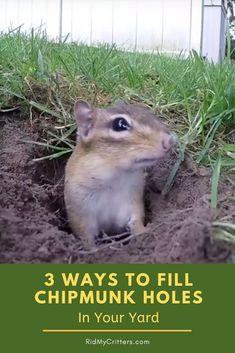 Chipmunk Holes, Chipmunk Trap, Chipmunk Repellent, Easy Garden, Garden Tips, Lawn And Garden, Garden Projects, Backyard Plants, Big Backyard