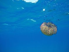 This gorgeous colourful jelly fish is not dangerous to swimmers and NO I'M NOT by the reef in the RED SEA but DIVING IN CALABRIA, SOUTH ITALY. courtesy of Nicola Criniti
