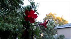 ❀Update on my Mandavilla Red Sun Parasol flowering vine plant 10-11-2015❀