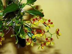 Gomesa [Oncidium] colorata