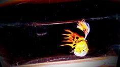 Fire fox burning tail guppy fish The #way to #Make #1 #million #Beautiful The way to Make 1 million Beautiful Gup...