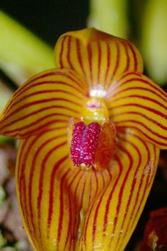 Orchid: Bulbophyllum pustulatum .❤❦♪♫