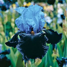 Buy Dangerous Mood Bearded Iris with a Lifetime Guarantee at Brecks.com. Brecks delivers the best Dutch bulbs, perennials, irises and more. Shop NOW!