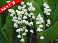 Lily of the Valley is a fast growing perennial groundcover that thrives in deep shade