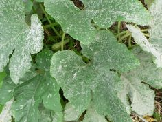 feuilles de courgettes atteintes d'une maladie cryptogamique appelée oïdium provoquée par un champignon
